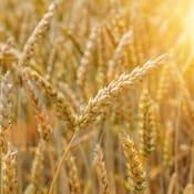 wheat 4298804 640