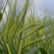 barley_image_web.jpg