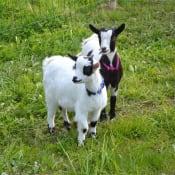 Kids-Goat-Baby-Goat-Animal-Cute-Goats-Breeding-2288929.jpg