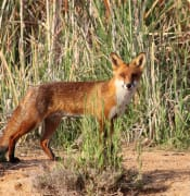 European Red Fox (Vulpes vulpes)