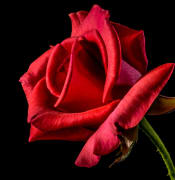 flower-roses-red-roses-bloom.jpg