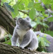 Koala_Study_UQ_1.jpg