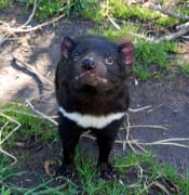 tasmanian devil 802463 1280