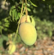 f055c18a-mango-on-tree1.jpg