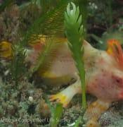 Red handfish Thymichthys politus photo credit Antonia Cooper 6