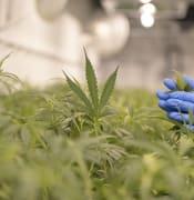 tas cannabis