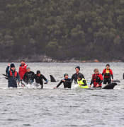 Members of a rescue crew stand with a whales on a sand bar near Strahan, Australia, Tuesday, Sept. 22, 2020. Around one third of an estimated 270 pilot whales that became stranded on Australia