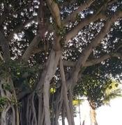 fig_tree_resized.jpg