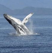 humpback-whale-436115_1920.jpg