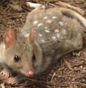 aussie-ark-trying-to-save-the-eastern-quoll-from-extinction.jpg