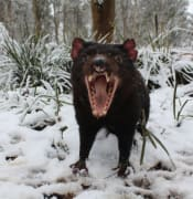 tasmanian-devils-in-their-absolute-element-at-the-barrington-tops.jpg