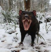 tasmanian-devils-in-their-absolute-element-at-the-barrington-tops.jpg