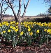 Daffodils Aug 2017 x 2.jpg