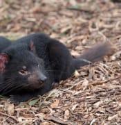 tasmanian-devil-3482305_640.jpg