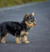 dog-puppy-yorkshire-terrier-yorkshire-terrier-puppy-163722.jpg