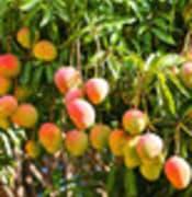 mango we.jpg