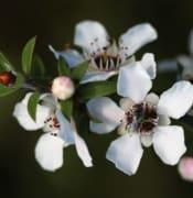 Manuka Flowers.JPG