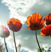 Poppys.jpeg