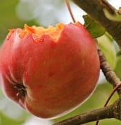 apple 1569011 640