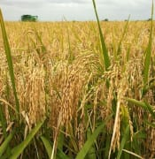 Rice Farming Nigeria