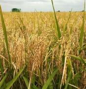 Rice Farming Nigeria