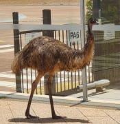 Whyalla_Airport_Emu.jpg