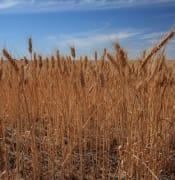 wheat 5cc