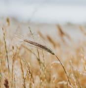 aussie crops