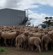 sheep research
