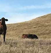 Stolen cattle.JPG