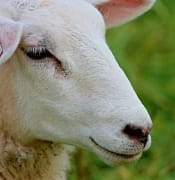 sheep-2973347_640.jpg