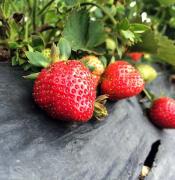 strawberry-2635329_640.jpg