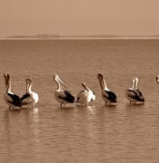 640px-Pelicans_on_parade.jpg