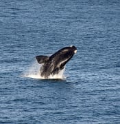 640px-Southern_right_whale_breaching,_South_Africa.jpg