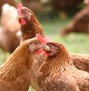 chickens-4119377_640.jpg