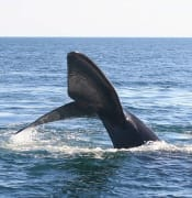 640px-Southern_right_whale9.jpg