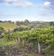 Summer_vineyard_on_the_Adelaide_Hills_Wine_Estate_by_freeaussiestock_dot_com.jpg