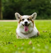pembroke-welsh-corgi-sticking-its-tongue-out-2737392.jpg