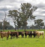 cattle-63729_640.jpg