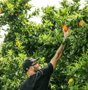 man-in-in-black-shirt-picking-up-orange-fruit-fruit-tree.jpg