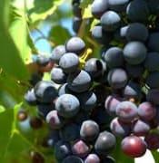 wine grapes pixabay