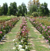 Rustons Rose garden 6