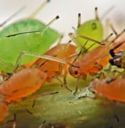 640px-Aphids_infestation_herd_on_Roses.jpg