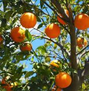 oranges 1117628 640