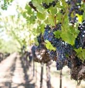 grapes 1952073 640