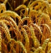 wheat 2536371 640