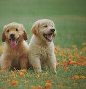 two-yellow-labrador-retriever-puppies-1108099.jpg