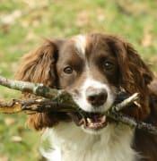 Pet_dog_fetching_sticks_in_Wales-3April2010.jpg