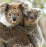 Koala and joey.jpg