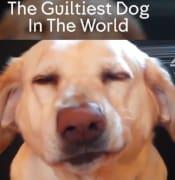 guiltydog.png